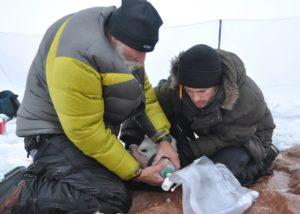 Scientists obtaining data from a collared polar bear. © US Coast Guard