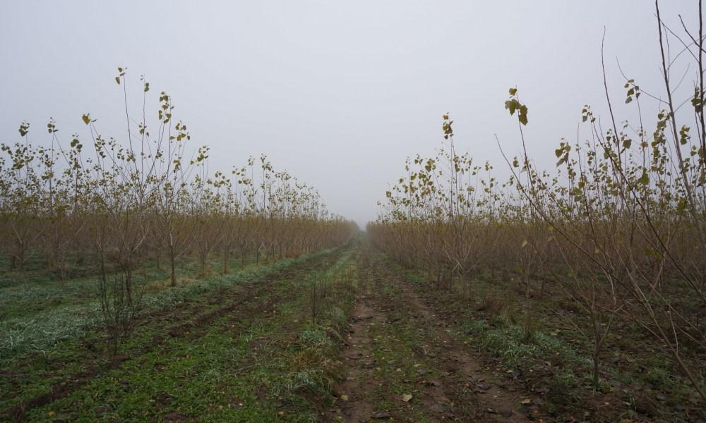 Development of hybrid poplar plantations hampered by biomass prices