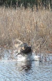 golden retriever, hunting, photography, pheasant