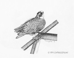 Osprey, pen and ink, drawing, wildlife, nature, ink