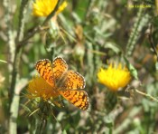 star thistle, butterfly