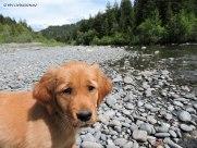 Golden retriever, puppy. retriever, forester, Mattole River