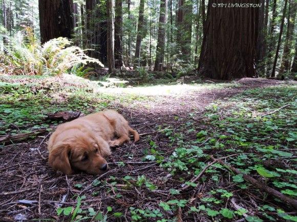 Golden retriever, puppy. retriever, forester