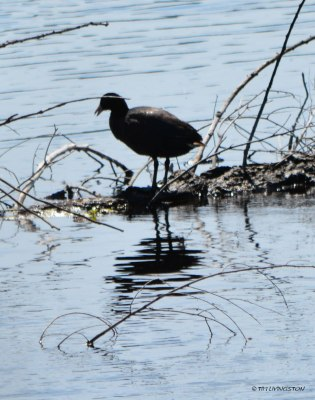 American Coot, Mud Hen