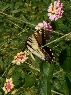 July 20, 2014 butterflies 039