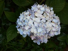 June 16, 2015 blooming in June 025