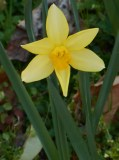 march-2-2017-daffies-011