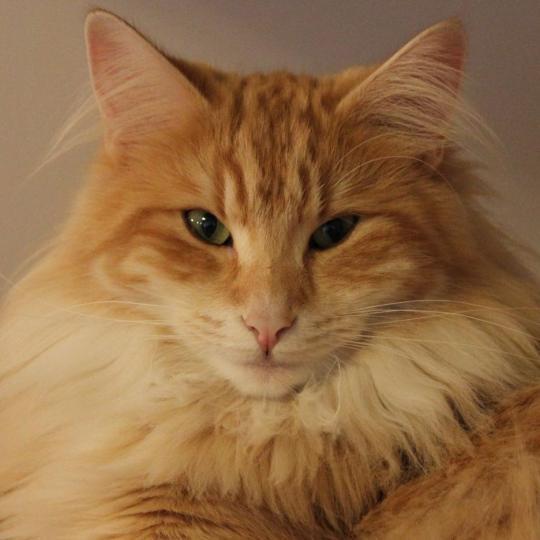 Kot norweski leśny bursztynowy