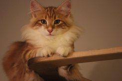 Kot norweski leśny rudy