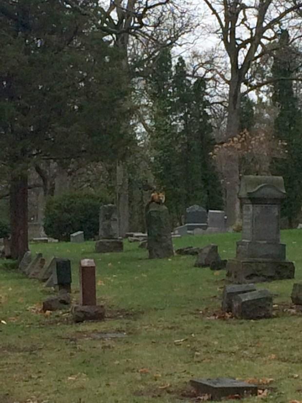 Fox Crouching Atop Grave. Photo by Adrienne Hagen.