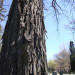 Shagbark hickory