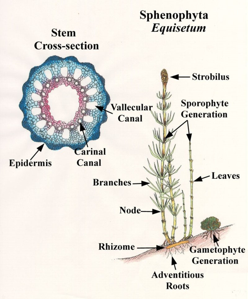 Adventitious Roots - Lexicon of Forestry LoF - Forestrypedia.jpg