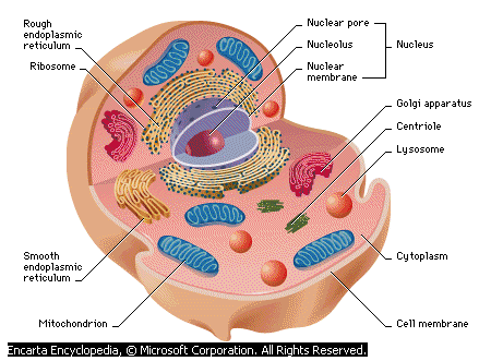 Animal cell - Lexicon of Forestry - LoF - Forestrypedia
