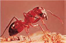 Ant - Lexicon of Forestry - LoF - Forestrypedia