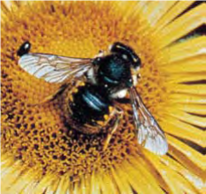 Bee - Lexicon of Forestry - LoF - Forestrypedia
