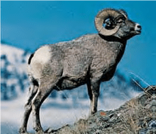 Bighhorn sheep- Lexicon of Forestry - LoF - Forestrypedia