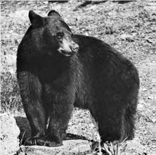 Black bear - Lexicon of Forestry - LoF - Forestrypedia