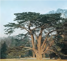 Cedar - Lexicon of Forestry - LoF - Forestrypedia