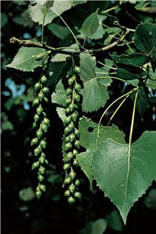 Cottonwood - Lexicon of Forestry - LoF - Forestrypedia