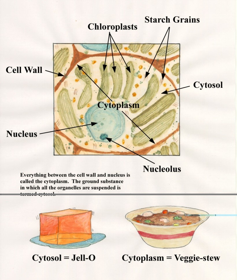 Animal Cell and Plant Cell - Forestrypedia
