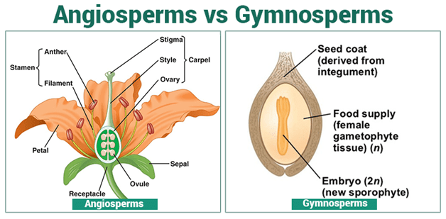 Life Cycle Of An Angiosperm (Seminar) - Angiosperms-and-Gymnosperms - Forestrypedia