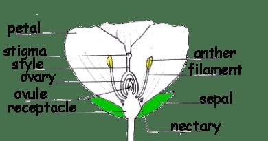 Flower Parts - Forestrypeida