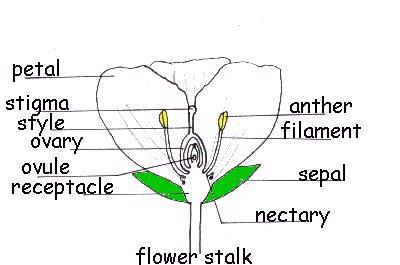 Flower Parts - Forestrypeida