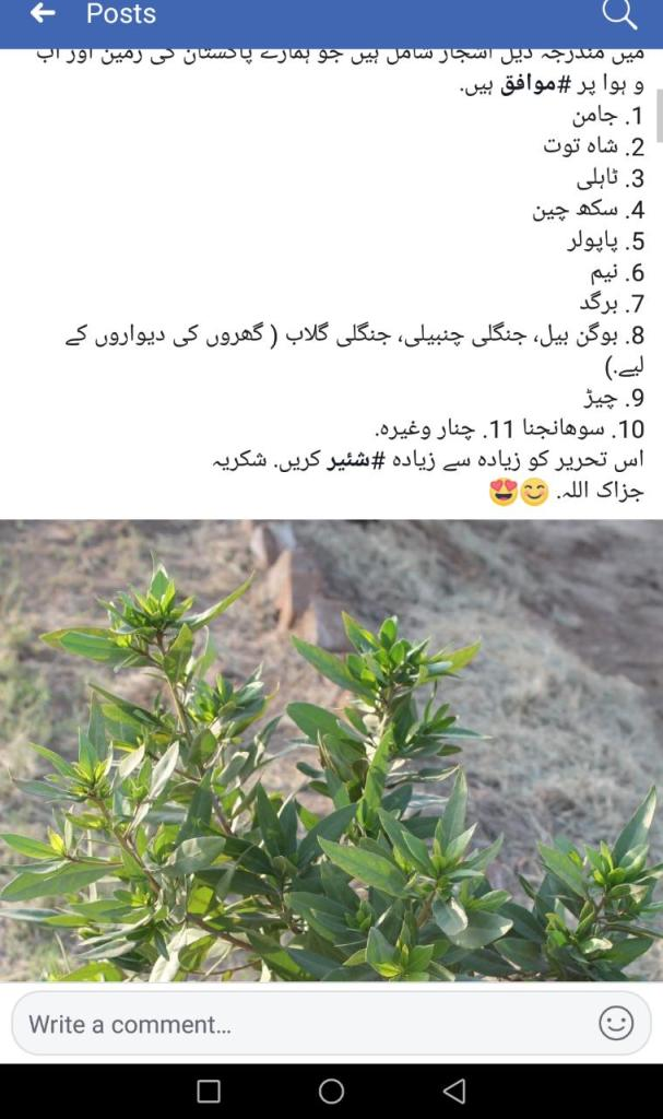 Status of Conocarpus Tree in Pakistan especially in Karachi | Alternatives of Concarpus - forestrypedia.com