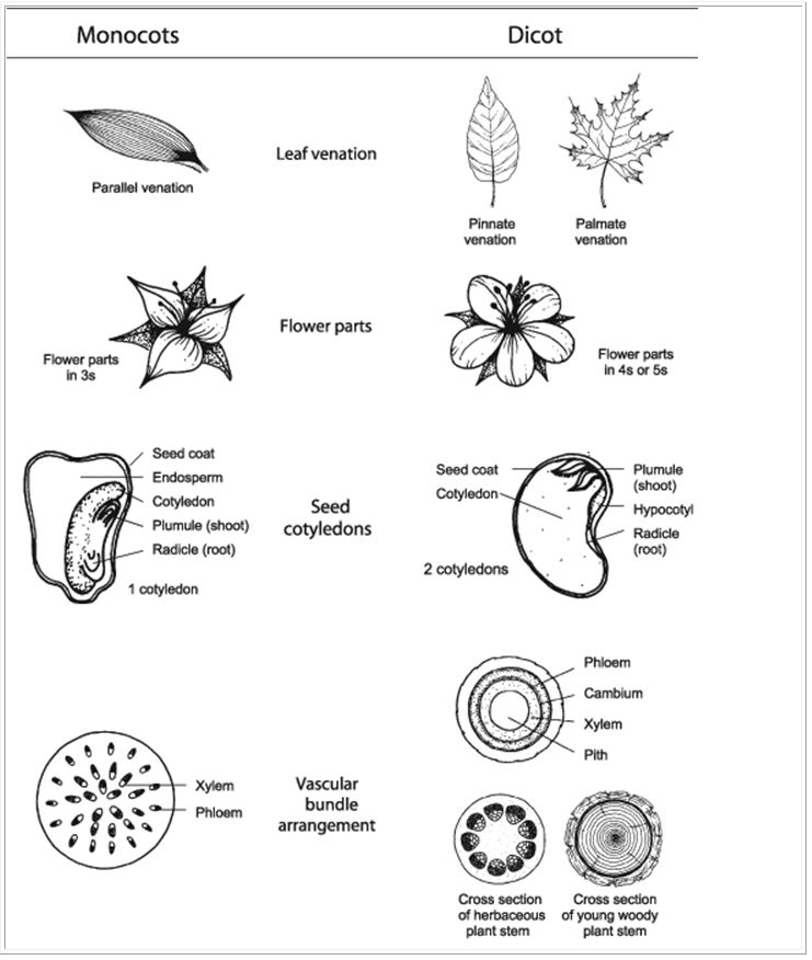 Monocot Dicot - Forestrypedia