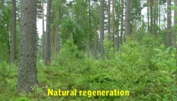 Natural Regeneration - Forestrypedia