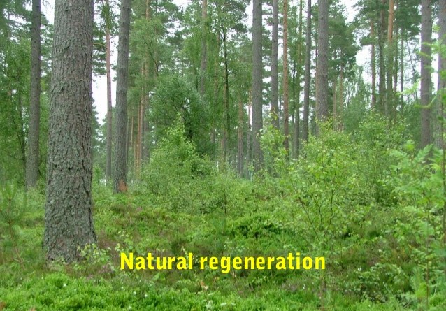 Natural Regeneration - Forestrypedia