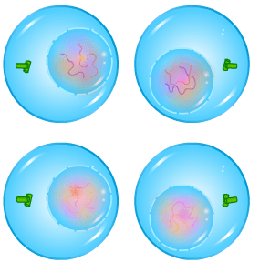 Cell Division - Meiosis - Telophase II - Forestrypedia