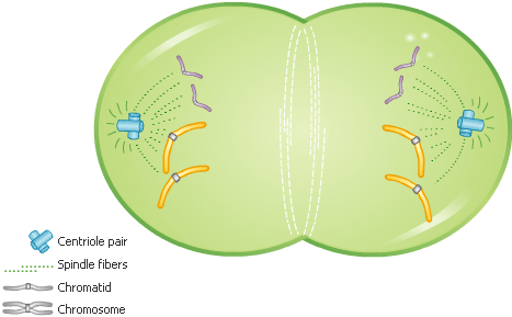 Cell Division - Telophase - Forestrypedia