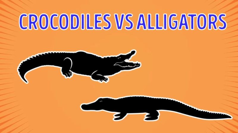Crocodiles Vs Alligators - Forestrypedia