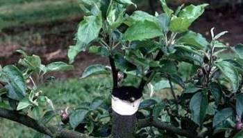 Vegetative Reproduction - Grafting - Forestrypedia