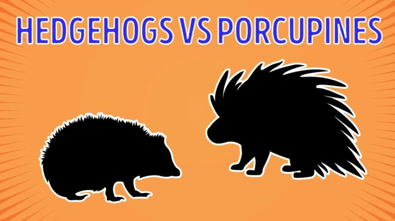 Hedgehogs vs Porcupines - Forestrypedia