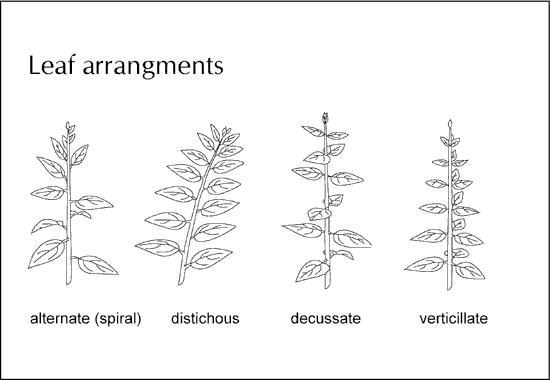 Leaf Arrangements1 - Forestrypedia