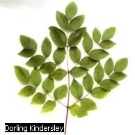 Leaf Kind - Forestrypedia