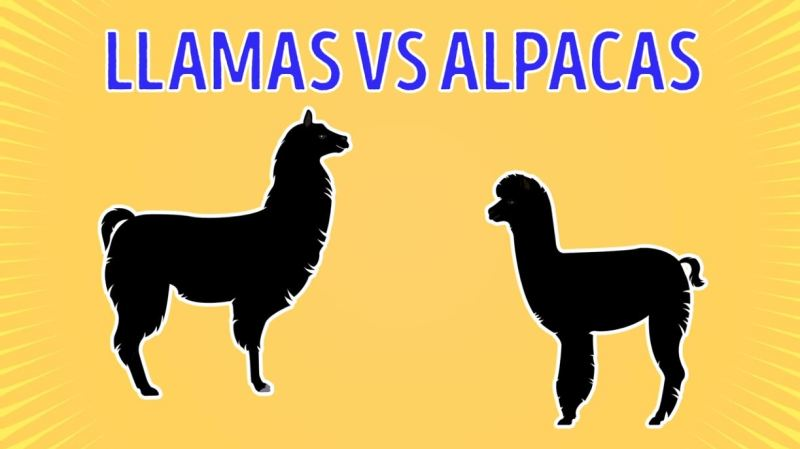 Llamas Vs Alpacas - Forestrypedia