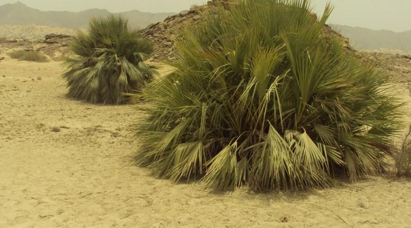 Status of Dwarf palm (Nannorrhops ritchieana) in Karak (Thesis) - Forestrypedia