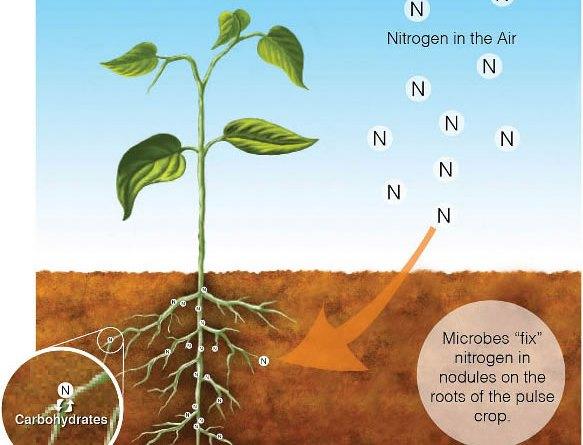 Nitrogen Fixation - Importance (Term Paper) - Forestrypedia