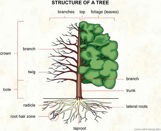 Tree Morphology (Seminar) - Forestrypedia