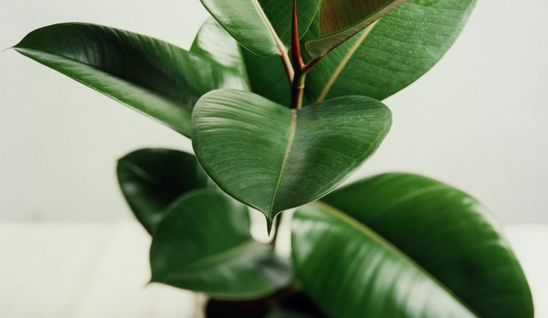 rubber-plant-ficus-elastica-forestrypedia - Plants that will Keep Your Home Office Room Cool