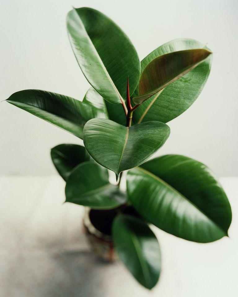 rubber-plant-ficus-elastica-forestrypedia