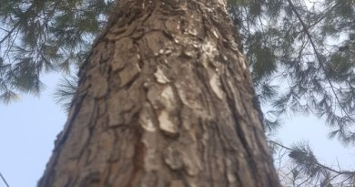 Which Trees should I plant? - Chir Pine - Forestrypedia