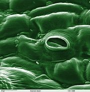 Stomata 2 - Forestrypedia.png