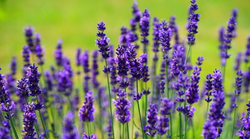 5 Plants That Naturally Repel Mosquitoes - Lavender - Forestrypedia