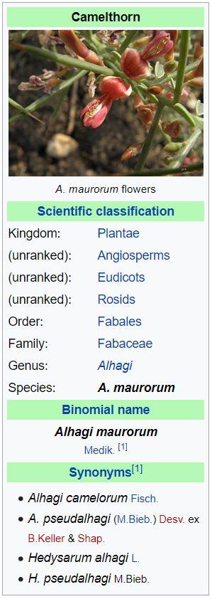 Alhagi maurorum - forestrypedia.com