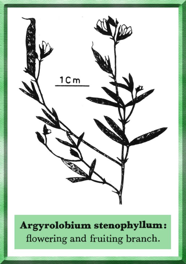Argyrolobium stenophyllum illustration - Forestrypedia