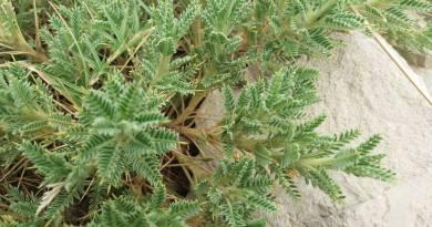 Astragalus hemsleyi